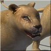 View Details on Lions